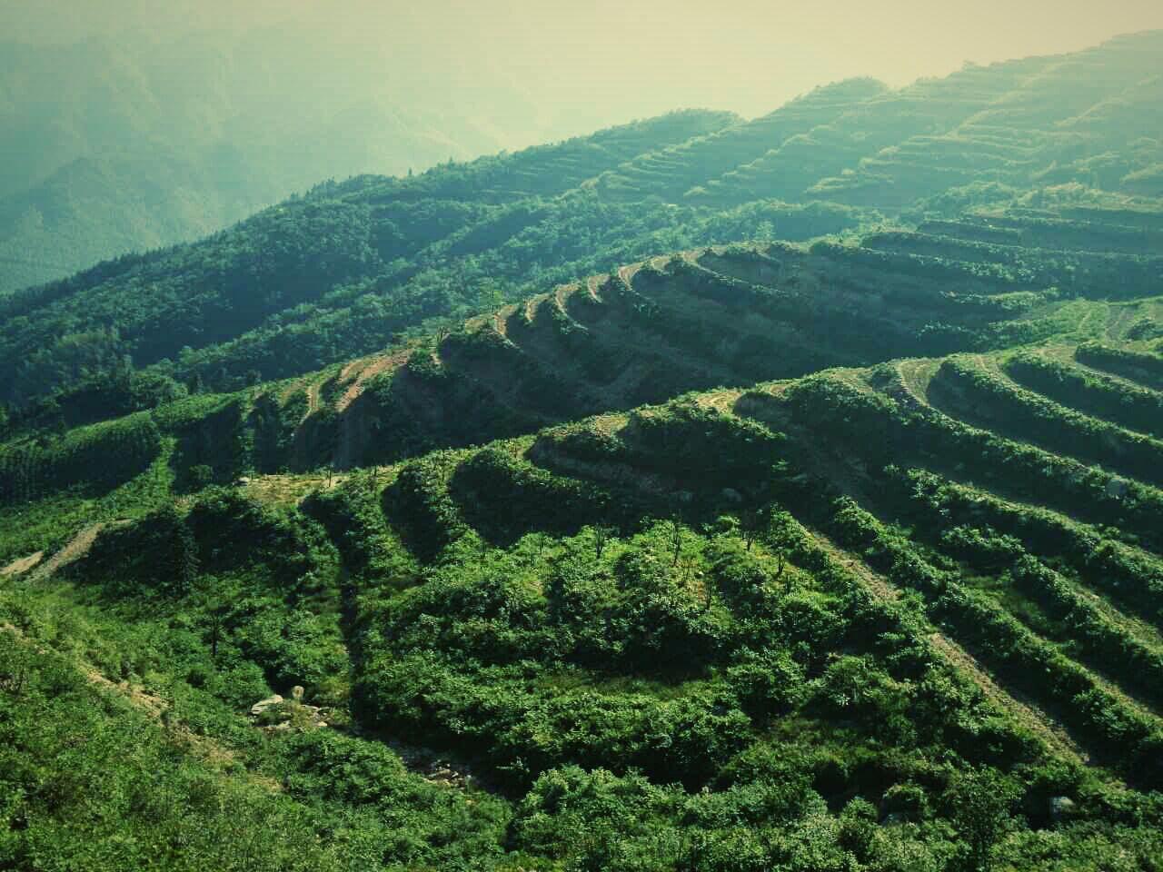 安化黑茶厂家为您分享黑茶品种有哪些
